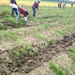 Transplanting Asparagus | Connery Riverdale Farms,